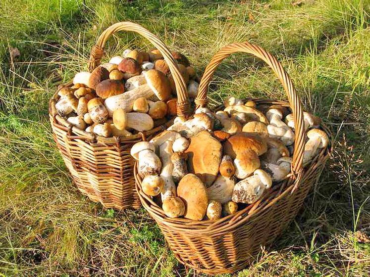 какие грибы можно есть в картинках